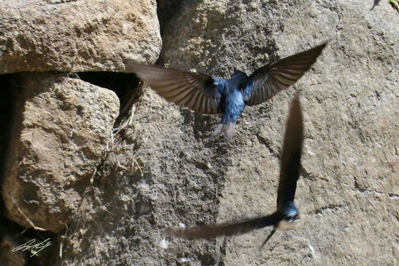 Blue-and-white Swallows (nest in one of the rock walls), Machu Picchu, the Lost City of the Incas, 20140718. Photo by Bruce.