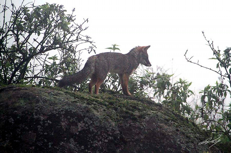 "Sechuran Fox (aka ""Zorro""), Reserva Nacional Lomas de Lachay, Huaral District, Peru, 20140724. Photo by Bruce."