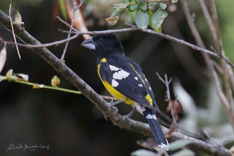 Black-backed Grosbeak, Ollantaytambo, Peru, 20140717. Photo by Sheila.