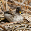 Yellow-billed Teal, Laguna de Huarcapay, Huarcapay, Peru, 20140720. Photo by Bruce.
