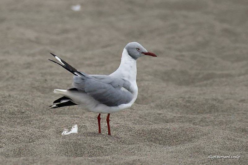 Gray-hooded Gull (adult alternate plumage), Pantanos de Villa Shore, Lima, Peru, 20140714. Photo by Allyn.