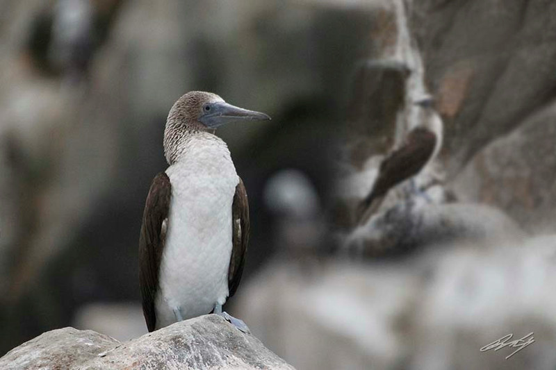 Blue-footed Booby, Palomino Island, Lima, Peru, 20140712. Photo by Bruce.