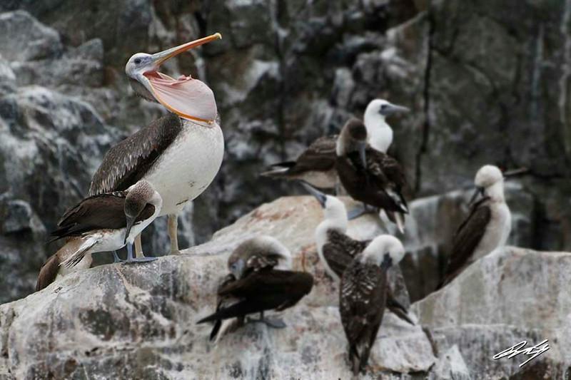 Peruvian Pelican, Palomino Island, Lima, Peru, 20140712. Photo by Bruce.