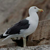 Kelp Gull (adult plumage), Palomino Island, Lima, Peru, 20140712. Photo by Bruce.