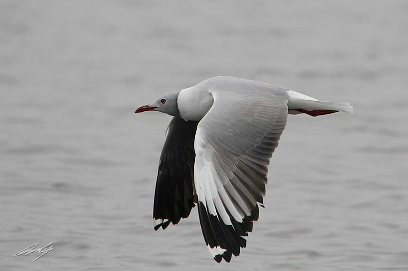 Gray-hooded Gull (adult alternate plumage), Pantanos de Villa Ponds, Lima, Peru, 20140714. Photo by Bruce.