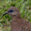 West Peruvian Dove, District Surco, Lima, Peru, 20140711. Photo by Bruce.