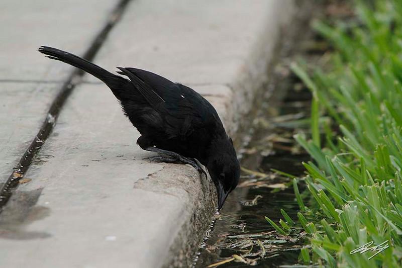 Scrub Blackbird, District Surco, Lima, Peru, 20140711. Photo by Bruce.
