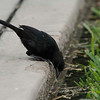 Scrub Blackbird, District Surco, Lima, Peru, 20140711. Photo by Bruce.