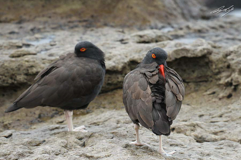 Blackish Oystercatcher, Jump of the Friar Rocks, Lima, Peru, 20140711. Photo by Bruce.