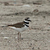 Killdeer, Pantanos de Villa Shore, Lima, Peru, 20140714. Photo by Bruce.