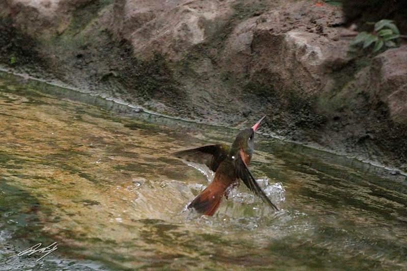 Amazilia Hummingbird, Bosque El Olivar, San Isidro, Lima, Peru, 20140723. Photo by Bruce.