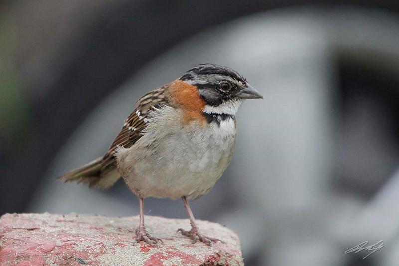 Rufous-collared Sparrow, Reserva Nacional Lomas de Lachay, Huaral District, Peru, 20140724. Photo by Bruce.
