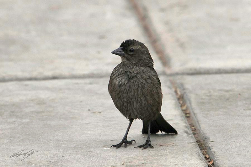 Blue-black Grassquit, District Surco, Lima, Peru, 20140711. Photo by Bruce.