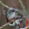 Andean Emerald, Ollantaytambo, Peru, 20140717. Photo by Allyn.