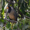 Golden-beaked Saltator, Ollantaytambo, Peru, 20140717. Photo by Sheila.