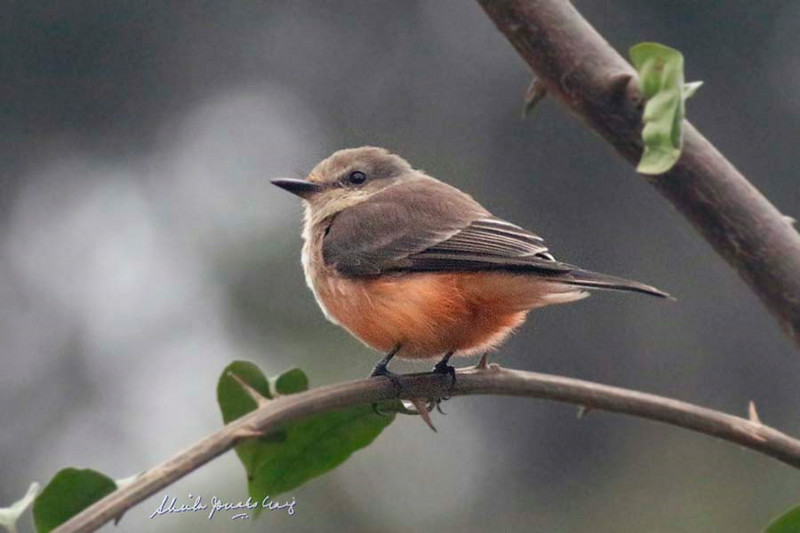 "Vermilion Flycatcher (""normal"" red morph female), Bosque El Olivar, San Isidro, Lima, Peru, 20140722. Photo by Sheila."