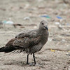 Gray Gull (1st year basic plumage), Pantanos de Villa Shore, Lima, Peru, 20140714. Photo by Bruce.