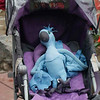 """Babyblue Pram-Parrot (we had a bit of fun spotting """"new"""" species!), Bosque El Olivar, San Isidro, Lima, Peru, 20140723. Photo by Allyn ...  after Pa requested!"""