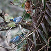 Blue-gray Tanager, Railroad, Machu Piccho, Peru, 20140719. Photo by Bruce.