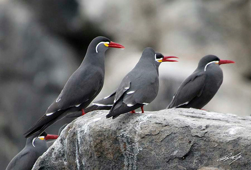 Inca Tern, Palomino Island, Lima, Peru, 20140712. Photo by Bruce.