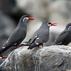 Inca Tern, Palomino Island, Lima, Peru, 20140712. Photo by Bruce.