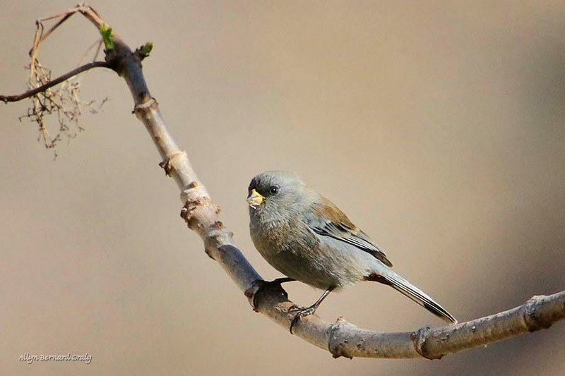 Band-tailed Seedeater, Ollantaytambo, Peru, 20140717. Photo by Allyn.