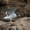 Belcher's Gull (adult basic plumage), Palomino Island, Lima, Peru, 20140712. Photo by Bruce.