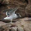 Belcher's Gull (adult basic plumage), Palomino Island, Lima, Peru, 20140712. Photo by Bruce.