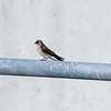 I think this little guy is a Rough-Winged Swallow.