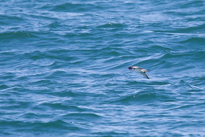 Buller's Shearwater - Off Half Moon Bay, CA, USA