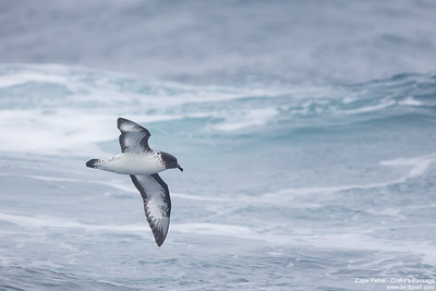 Cape Petrel - Drake's Passage