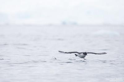 Cape Petrel - Antarctica