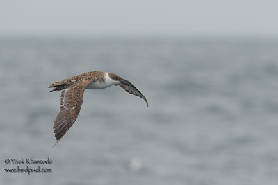 Great Shearwater -  Farallon National Wildlife Reguge,  CA, USA