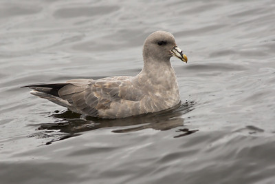 Northern Fulmar - dark morph
