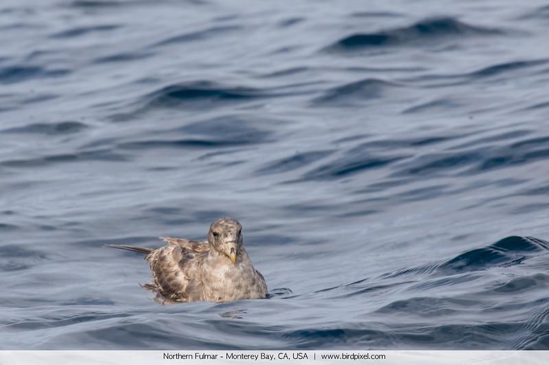 Northern Fulmar - Monterey Bay, CA, USA