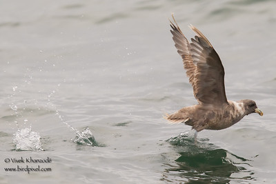 Northern Fulmar - Half Moon Bay, CA, USA