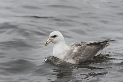 Northern Fulmar - light morph