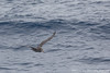 Northern Giant-Petrel - Drake's Passage, Southern Ocean