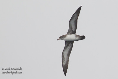 Pink-footed Shearwater - Off Half Moon Bay, CA, USA