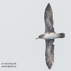 Pink-footed Shearwater - Farallon National Wildlife Refuge, CA, USA