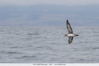 Pink-footed Shearwater - Monterey Bay, CA, USA