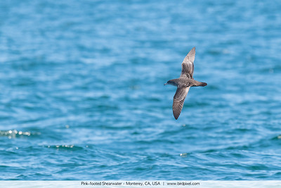 Pink-footed Shearwater - Monterey, CA, USA