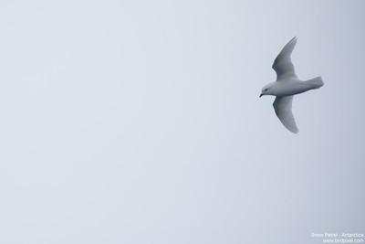 Snow Petrel - Antarctica