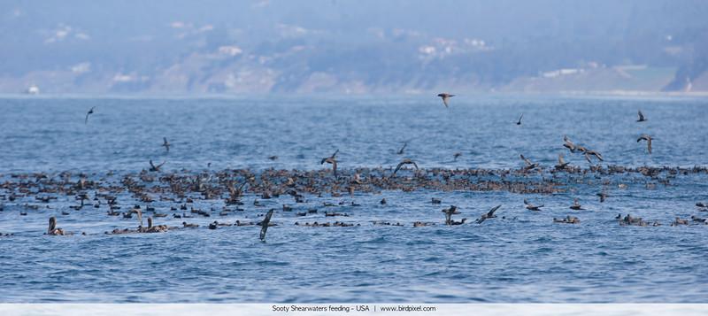 Sooty Shearwaters feeding - Nr. Moss Landing, CA, USA