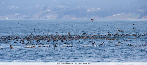 Sooty Shearwaters feeding - Nr. Moss Landing, CA, USA
