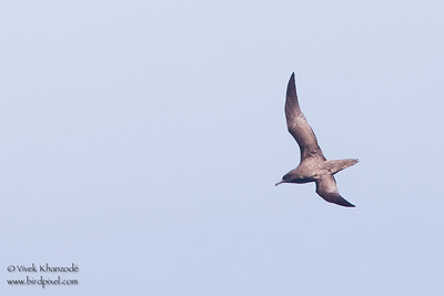 Sooty Shearwater - Off Half Moon Bay, CA