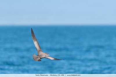 Sooty Shearwater - Monterey, CA, USA