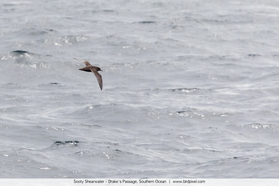 Sooty Shearwater - Drake's Passage, Southern Ocean