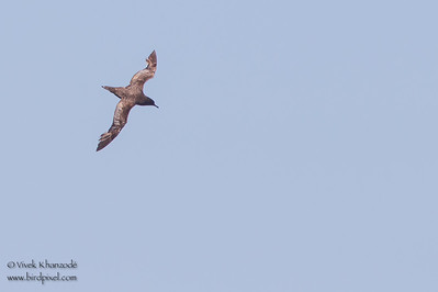 Sooty Shearwater - Moneterey, CA, USA