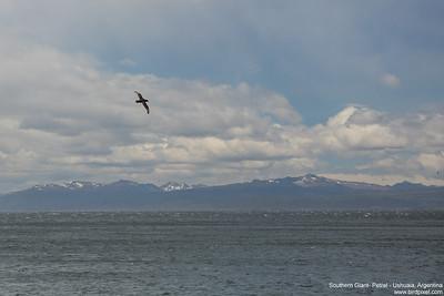 Southern Giant- Petrel - Ushuaia, Argentina